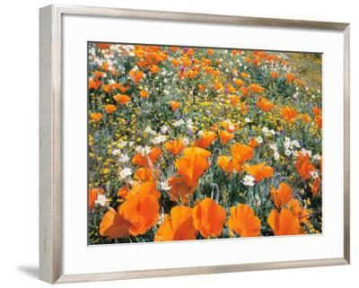 Detail of Field of California Poppy, Cream Cup and Goldfield Flowers-Jeff Foott-Framed Photographic Print