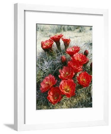Claret Cup Cactus (Echinocereus Triglochidiatus) Flowers Blooming, Southwest, Usa-Jeff Foott-Framed Photographic Print