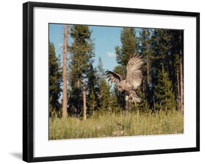 Great Gray Owl in Flight over Field with Trees in the Background-Jeff Foott-Framed Photographic Print
