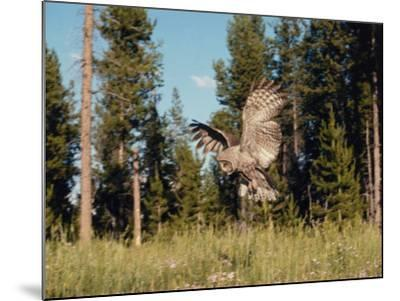 Great Gray Owl in Flight over Field with Trees in the Background-Jeff Foott-Mounted Photographic Print