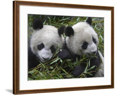 China, Sichuan Province, Wolong, Two Giant Pandas Eating Bamboo in the Bush-Keren Su-Framed Photographic Print