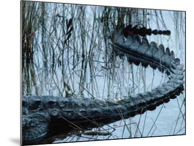 Tail of American Alligator Lies in Shallow Waters-Jeff Foott-Mounted Photographic Print