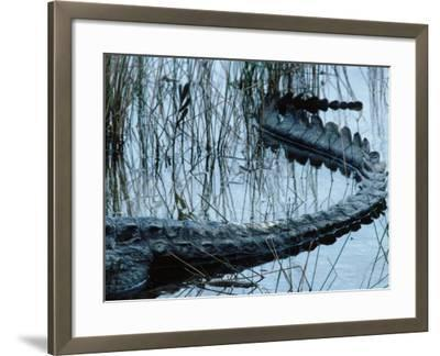 Tail of American Alligator Lies in Shallow Waters-Jeff Foott-Framed Photographic Print