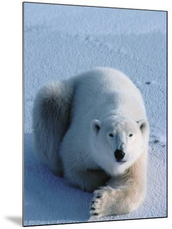 A Full Body Shot of a Polar Bear Resting-Jeff Foott-Mounted Photographic Print