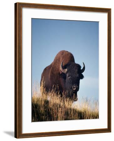 Bison Stands on Hill-Jeff Foott-Framed Photographic Print
