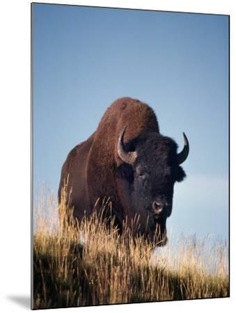 Bison Stands on Hill-Jeff Foott-Mounted Photographic Print