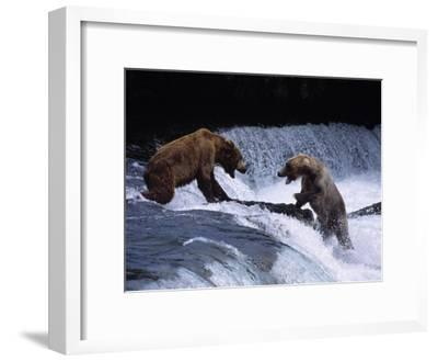 Grizzly Bear Fights with Another Bear-Jeff Foott-Framed Photographic Print