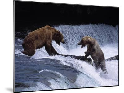 Grizzly Bear Fights with Another Bear-Jeff Foott-Mounted Photographic Print