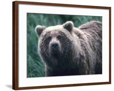 Grizzly Bear-Jeff Foott-Framed Photographic Print