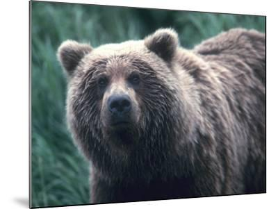 Grizzly Bear-Jeff Foott-Mounted Photographic Print