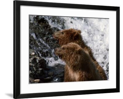 Black Bear-Jeff Foott-Framed Photographic Print