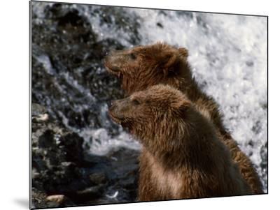 Black Bear-Jeff Foott-Mounted Photographic Print