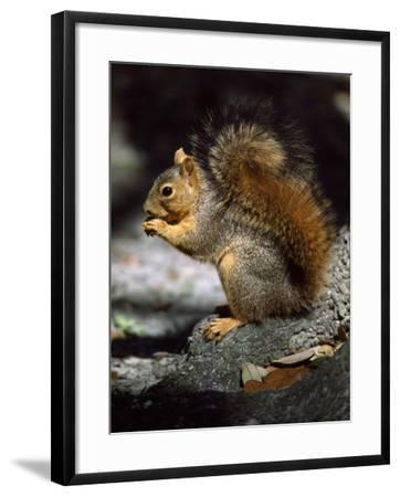 Fox Squirrel Stands on a Rock-Jeff Foott-Framed Photographic Print