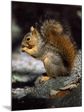 Fox Squirrel Stands on a Rock-Jeff Foott-Mounted Photographic Print