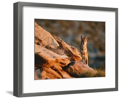 Coyote Stands on Rock Ledge-Jeff Foott-Framed Photographic Print
