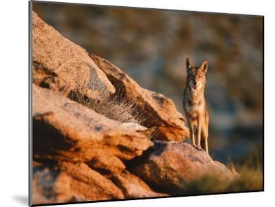 Coyote Stands on Rock Ledge-Jeff Foott-Mounted Photographic Print