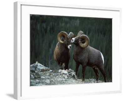 Bighorn Sheep-Jeff Foott-Framed Photographic Print