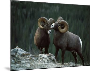Bighorn Sheep-Jeff Foott-Mounted Photographic Print