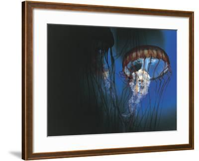 Close-Up of Jellyfish Underwater--Framed Photographic Print