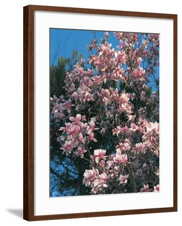 Low Angle View of Branches of a Saucer Magnolia Tree in Blossom (Magnolia Soulangiana)-S^ Montanari-Framed Photographic Print