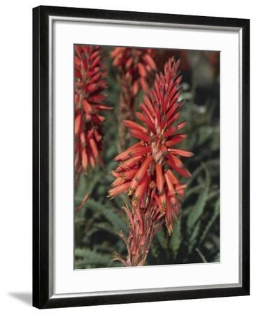 Close-Up of Flowers on an Aloe Vera Plant (Aloe Vera)-S^ Montanari-Framed Photographic Print