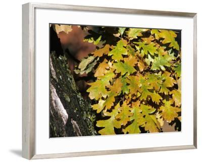 Close Up of Bur Oak Leaves (Quercus Macrocarpa) in Autumn Color, Custer State Park, South Dakota-Jeff Foott-Framed Photographic Print