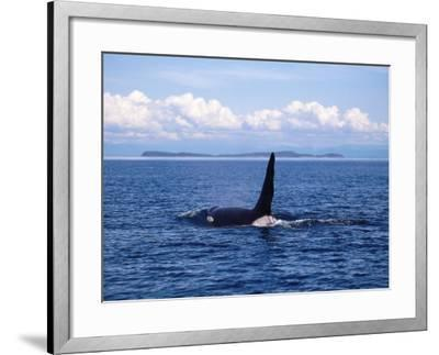 Male Killer Whale Coming Out of the Water with Kelp Hanging from its Dorsal Fin-Jeff Foott-Framed Photographic Print