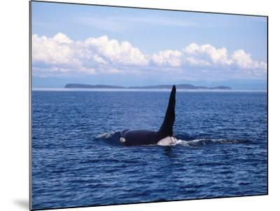 Male Killer Whale Coming Out of the Water with Kelp Hanging from its Dorsal Fin-Jeff Foott-Mounted Photographic Print
