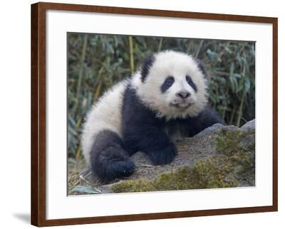 China, Sichuan Province, Wolong, 5-Month-Old Panda Cub in the Forest-Keren Su-Framed Photographic Print
