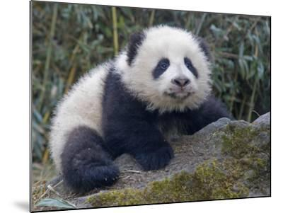 China, Sichuan Province, Wolong, 5-Month-Old Panda Cub in the Forest-Keren Su-Mounted Photographic Print