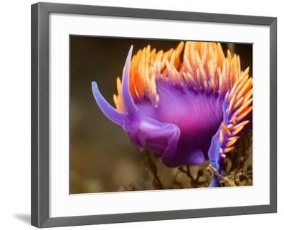 Spanish Shawl Nudibranch--Framed Photographic Print