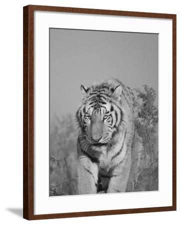 China, Heilongjiang Province, Siberian Tiger in the Grass-Keren Su-Framed Photographic Print