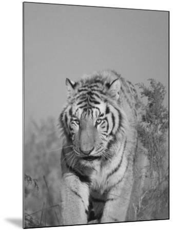 China, Heilongjiang Province, Siberian Tiger in the Grass-Keren Su-Mounted Photographic Print