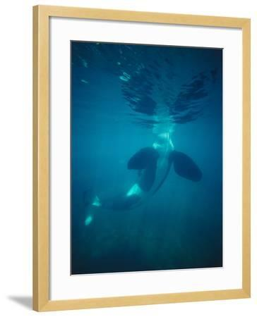 Killer Whale Submerged with Head Above Water-Jeff Foott-Framed Photographic Print