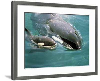 Killer Whale (Orcinus Orca) Mother with Calf-Jeff Foott-Framed Photographic Print
