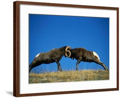 Two Male Bighorn Sheep Butt Heads in an Open Field-Jeff Foott-Framed Photographic Print
