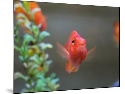China, Gold Fish in the Tank-Keren Su-Mounted Photographic Print
