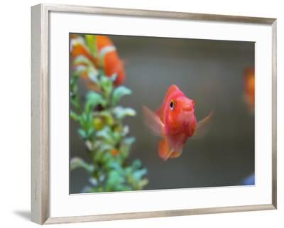 China, Gold Fish in the Tank-Keren Su-Framed Photographic Print