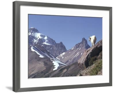 Mountain Goat Stands on Steep Mountain Ledge-Jeff Foott-Framed Photographic Print
