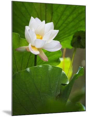 China, Sichuan Province, Lotus Flower in the Pond-Keren Su-Mounted Photographic Print