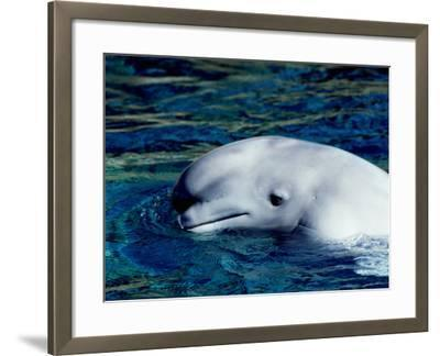 Detail of a Beluga Whale on Surface of Water-Jeff Foott-Framed Photographic Print