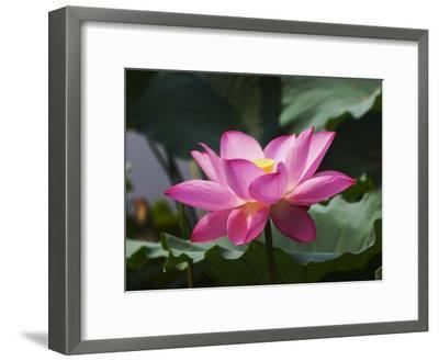 China, Sichuan Province, Lotus Flower in the Pond-Keren Su-Framed Photographic Print
