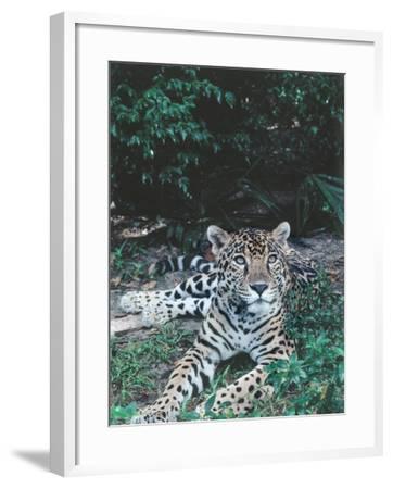 Jaguar Lies on Ground in Tropical Rainforest-Jeff Foott-Framed Photographic Print