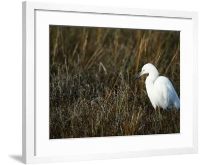 Snowy Egret on the Ground in Wetlands-Jeff Foott-Framed Photographic Print