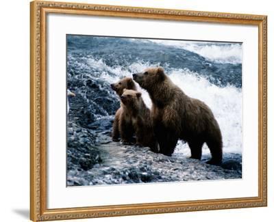 Grizzly Bear, Ursus Arctos, Cubs, Mcneil River, Alaska, Usa-Jeff Foott-Framed Photographic Print