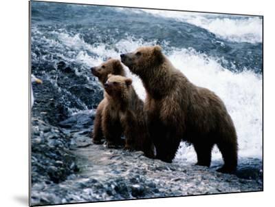 Grizzly Bear, Ursus Arctos, Cubs, Mcneil River, Alaska, Usa-Jeff Foott-Mounted Photographic Print