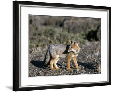 Arctic Fox-Jeff Foott-Framed Photographic Print