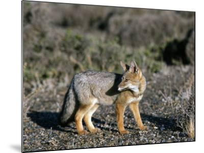 Arctic Fox-Jeff Foott-Mounted Photographic Print