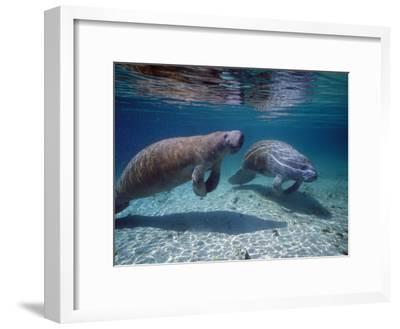 West Indian Manatee-Jeff Foott-Framed Photographic Print