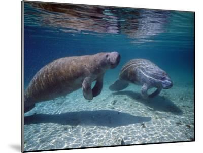 West Indian Manatee-Jeff Foott-Mounted Photographic Print